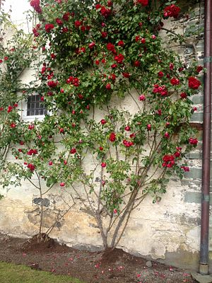 Barony Rosendal - Roses growing along Barony wall