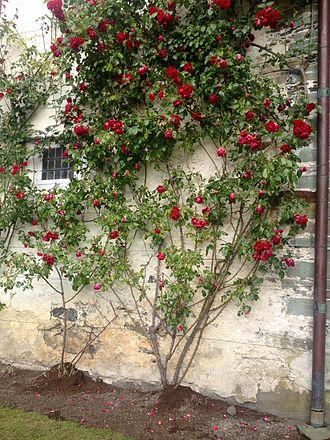 Barony Rosendal - Roses growing along Barony wall