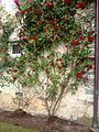 Roses growing up Barony wall July 2015.jpg