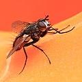 Rotgefleckte Raupenfliege Eriothrix rufomaculatus 3850.jpg