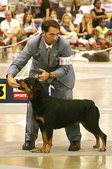 Rottweiler Conformation Showing.jpg