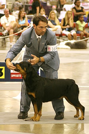Rottweiler breed competition at the Reliant Ar...