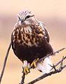 Rough-legged Hawk (5928548334) (cropped).jpg