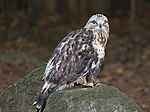 Rough-legged hawk (12344138484).jpg