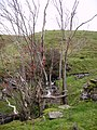Rowan Berries, Flinter Gill - geograph.org.uk - 277482.jpg