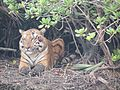 Royal Bengal Tiger in Sundarbans National Park.jpg