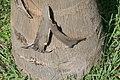 Roystonea regia var. maisiana 5zz.jpg