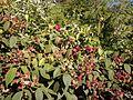 Rubus glaucus en su hábitat.jpg