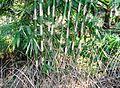 Rumpun pohon bambu (1).JPG