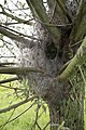 Rupsen in Knotwilg (9450908472).jpg