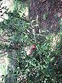 Ruscus aculeatus5.jpg