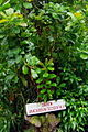 STLUC-cashew-pflanze.jpg