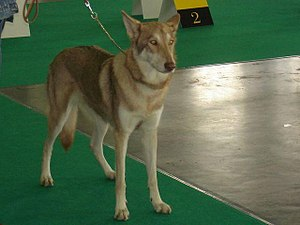 Wolfdog - A Saarloos Wolfdog