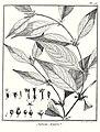 Sabicea aspera Aublet 1775 pl 76.jpg