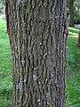 Salix alba bark.jpg