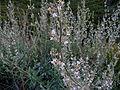 Salvia apiana.jpg
