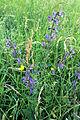 Salvia pratensis, Rumex acetosa und Ranunculus acris am Kordigast (HK).jpg
