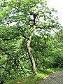 Sambabaum - panoramio.jpg