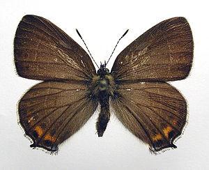 Black hairstreak - Image: Satyrium pruni 1
