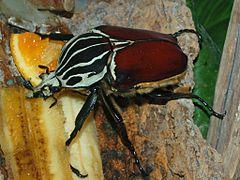 240px scarabaeidae   goliathus goliatus