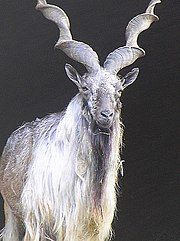 The Markhor is the national animal of Pakistan
