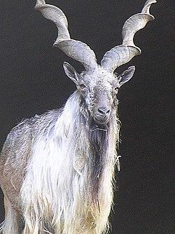 how to get ground desert goat horn