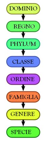 La gerarchia di classificazione biologica secondo gli otto principali ranghi tassonomici. Un genere contiene una o più specie. Le posizioni intermedie alla classifica non sono visualizzate.