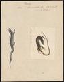 Scincus taeniolatus - 1700-1880 - Print - Iconographia Zoologica - Special Collections University of Amsterdam - UBA01 IZ12600047.tif