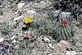 Sclerocactus parviflorus fh 69 15 Esco Op UT B.jpg