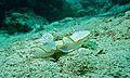 Sea Slug (Ardeadoris egretta) (6127281503).jpg