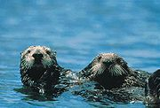 A pair of Sea Otters (Enhydra lutris), a member of family Mustelidae