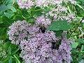 Sedum in the United States National Arboretum 002.jpg