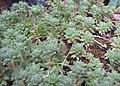 Sempervivum montanum abl.jpg