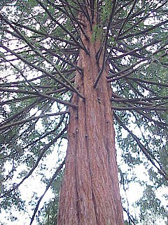 Sequoia sempervirens0.jpg