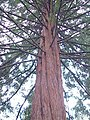 Sequoia sempervirens0.jpg