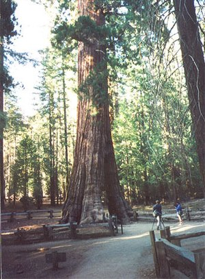 Mariposa Grove - The California Tunnel Tree, in the Mariposa Grove, Yosemite