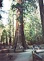 Sequoiadendron1.jpg
