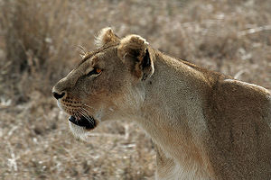 Serengeti Lion 1.jpg