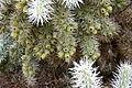 Ses Salines - Botanicactus - Cylindropuntia tunicata 08 ies.jpg