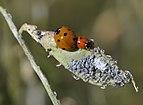 Seven Spotted-Ladybug - Coccinella septempunctata.jpg