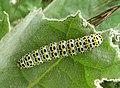 Shargacucullia.verbasci.caterpillar.jpg