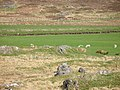Sheep, Strathcarron - geograph.org.uk - 797588.jpg
