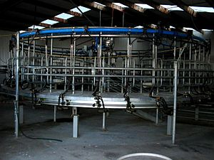 Sheep milk - Mechanical sheep milker, South Island, NZ