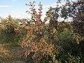 Shepherdia argentea — Matt Lavin 006.jpg