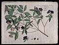 Singapore rhododendron (Melastoma malabathricum L.); branch Wellcome V0042614.jpg