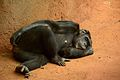 Sleeping chimpanzee (9165242880).jpg