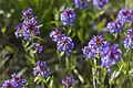 Small-flower Penstemon (14584472228).jpg