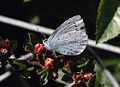 Small butterfly (2520821251).jpg