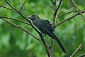 Smooth-billed Ani 2015-06-07 (2) (39421223085).jpg