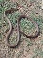 Snake - panoramio - Muhammad Yaqoob.jpg